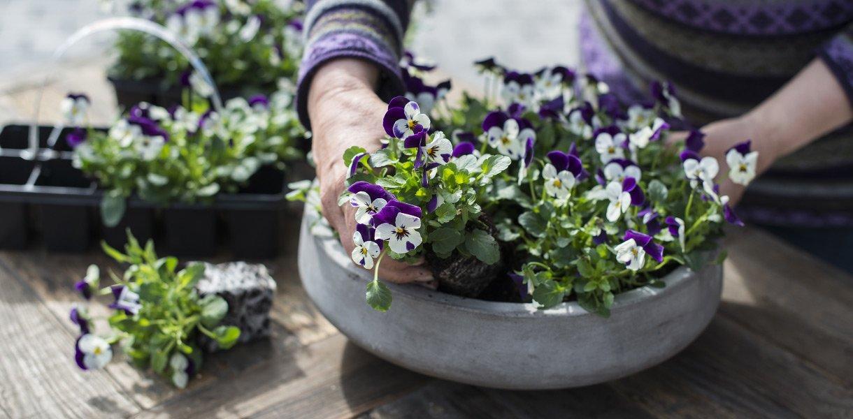 Stemorsblomster plantes sammen i et dypt fat