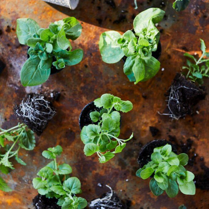 Stiklinger med og uten potter klare til utplanting