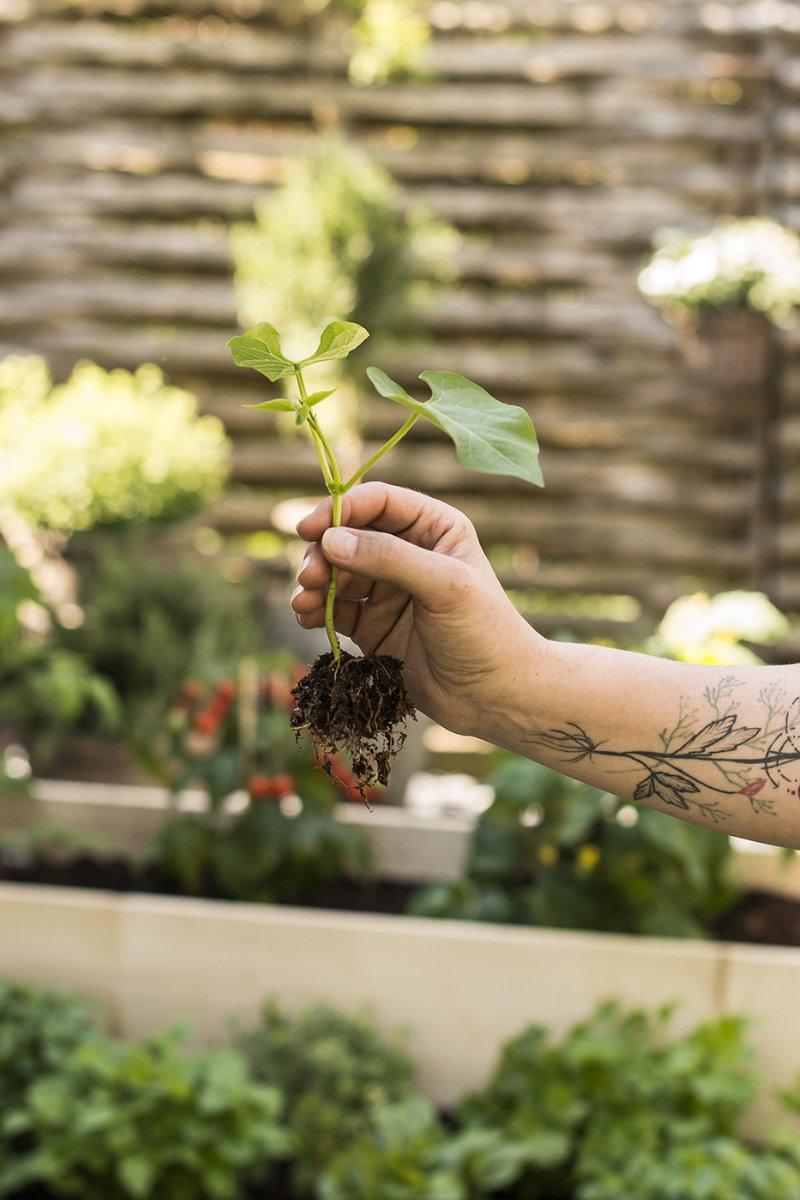 Stiklinger plante formering jord