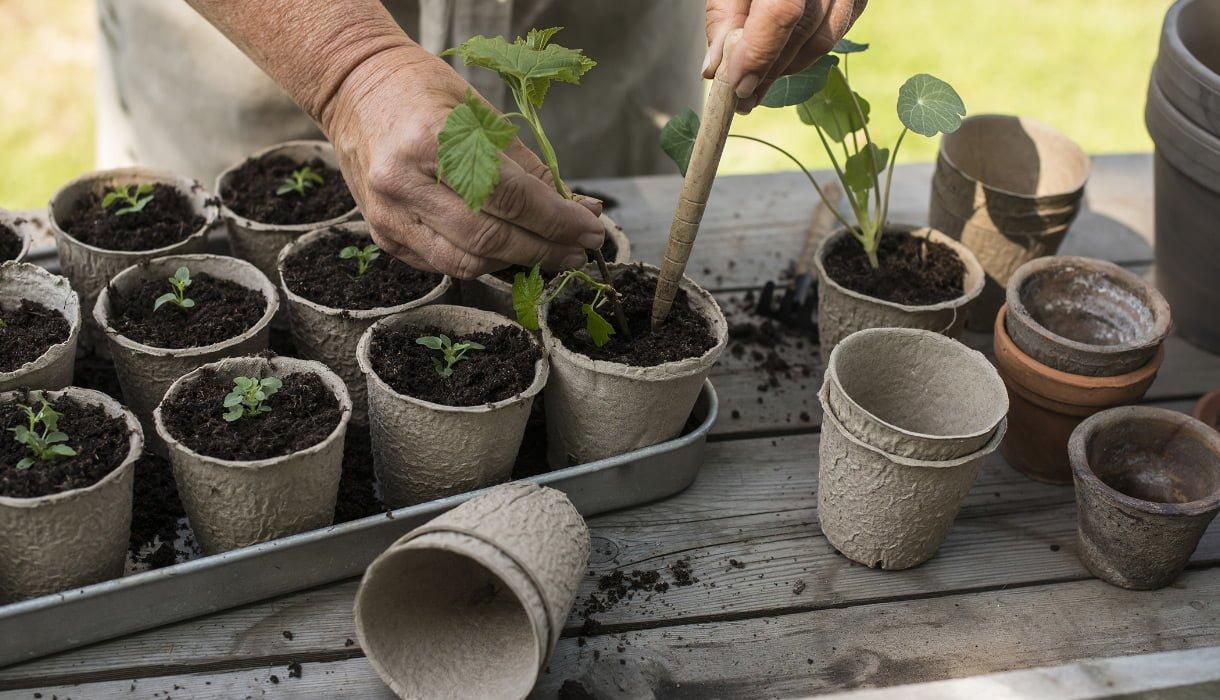 Planting av stiklinger i pappotter