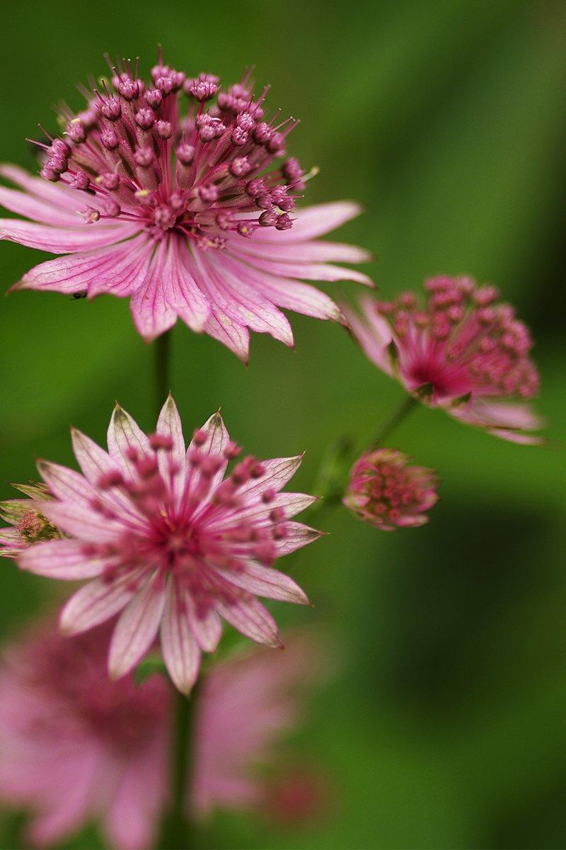 rosa storstjerneskjerm staude blomst