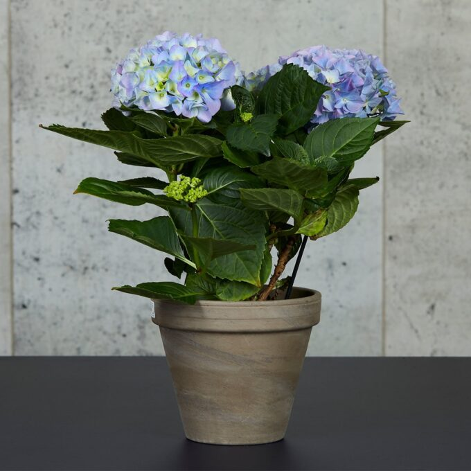 stuehortensia blå i potte
