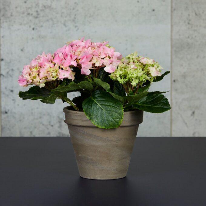 stuehortensia rosa i potte