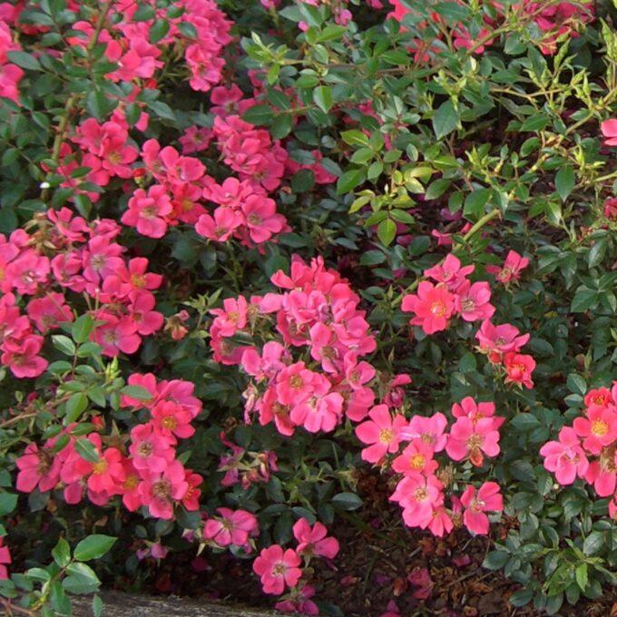 bunndekkende rosa Tommelise-rose