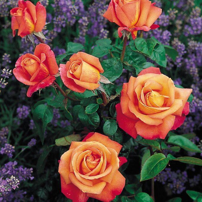 troika oransje roser