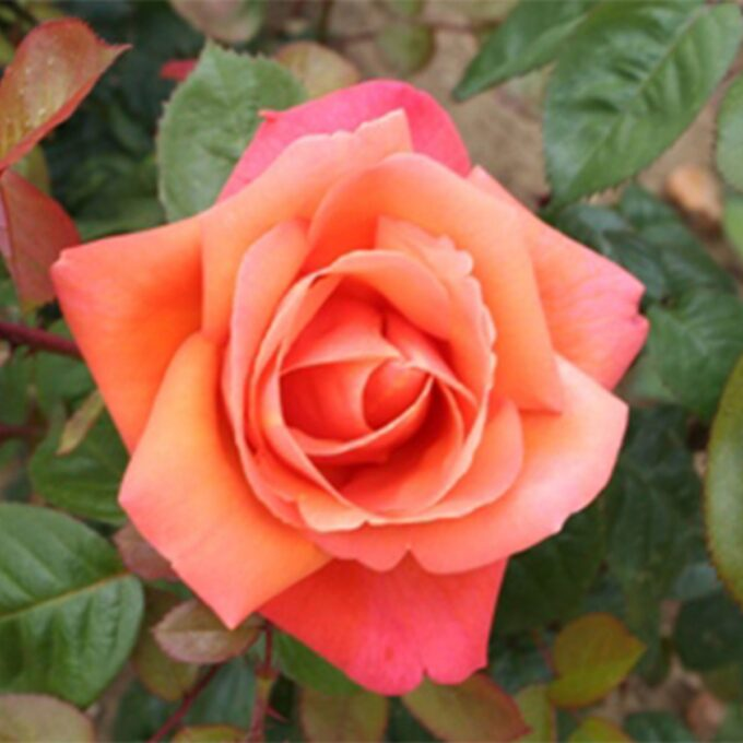 troika oransje rose