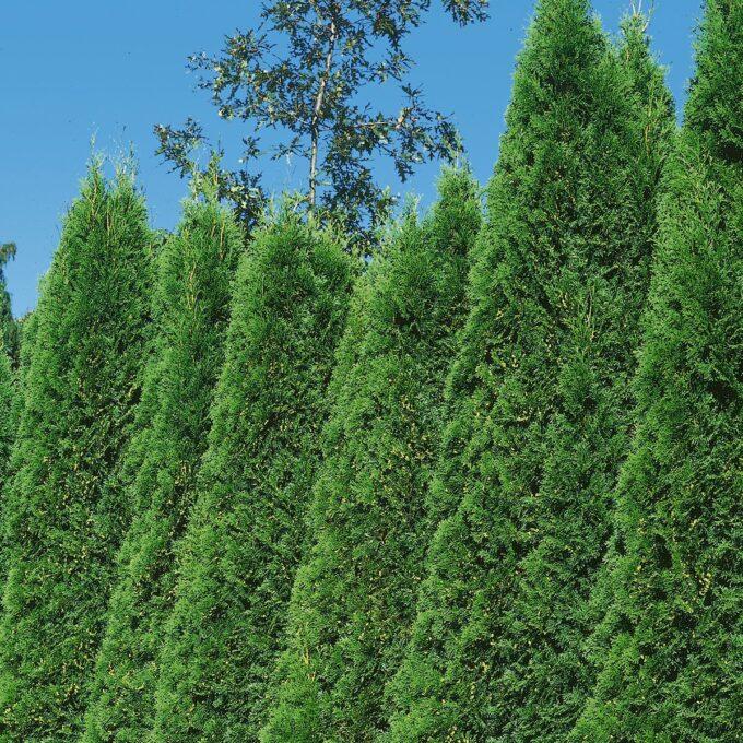 Tuja 'Smaragd' har en tett og pyramideformet vekst. Baret er litt gulaktig på vinteren, men irrgrønt i vekstsesongen. Den trives best i sol eller halvskygge og i godt drenert hagejord, ellers nøysom.