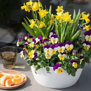 Påskeliljer og stemorblomster i potte i sollys
