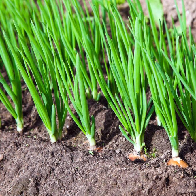 Frisk, grønn vårløk på rad og rekke i grønnsaksåker