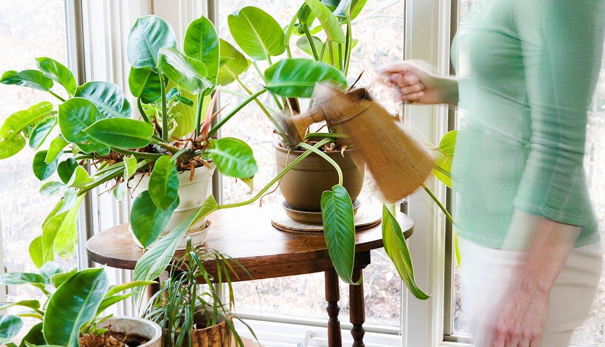 vanning av grønne inneplanter