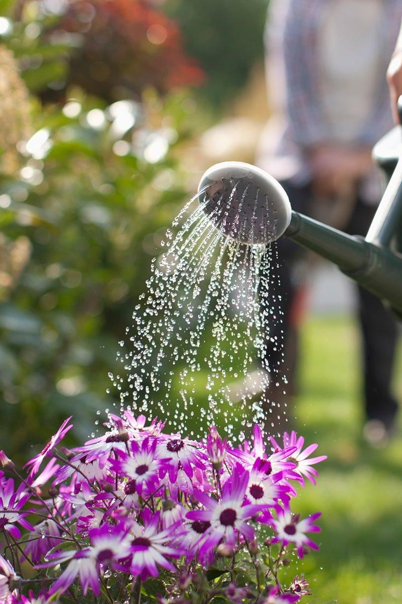 vanning av rosa blomster med vannkanne