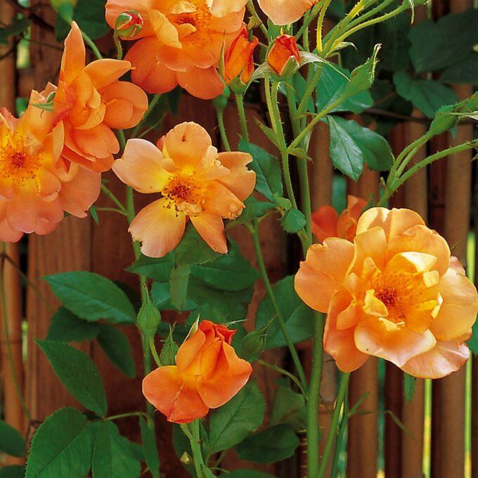 oransje rose - buskrose Westerland