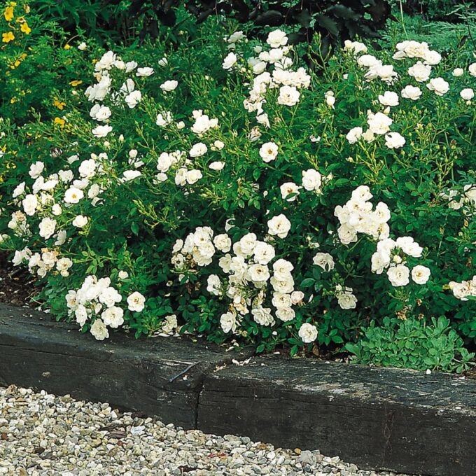 stor busk av den bunndekkende, hvite rosen White Cover