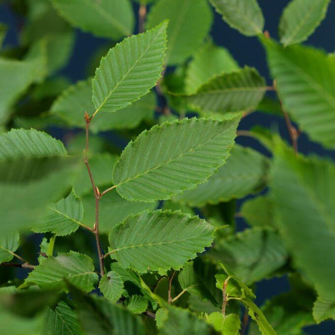 Toppskudd og blader på agnbøk-busk