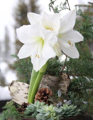 Nærbilde av hvit Amaryllis