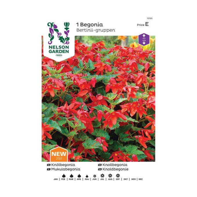 Nelson Garden blomsterløk - begonia Bertinii