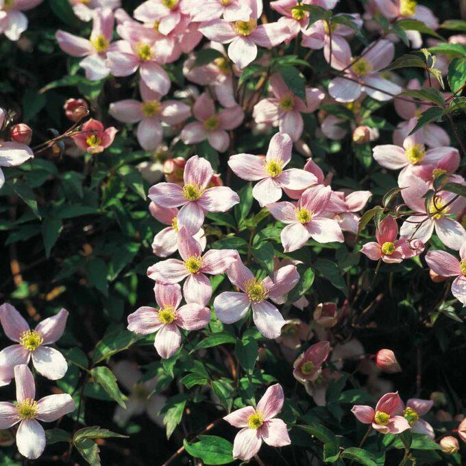 Rosa bergklematisblomster i solen