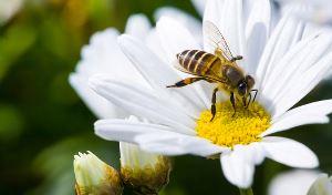 Bie på blomsterhodet