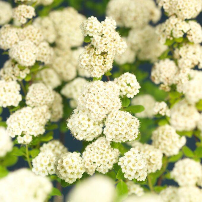 Mengder av blomsterklaser på bjørkebladspirea Tor