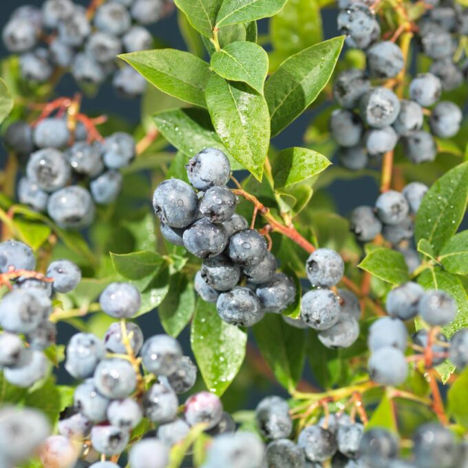 Bluecrop blåbærbusk med regnvåte bær