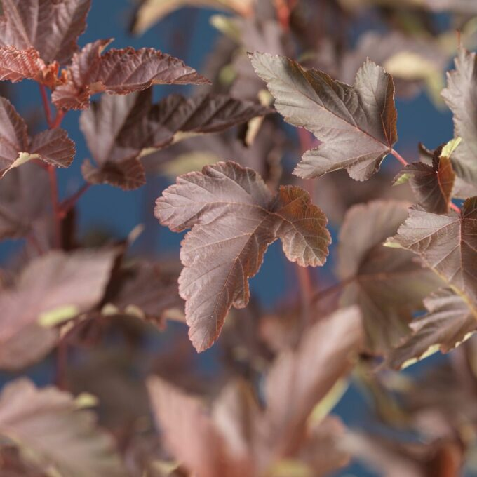 Blærespirea Diabolo-blader