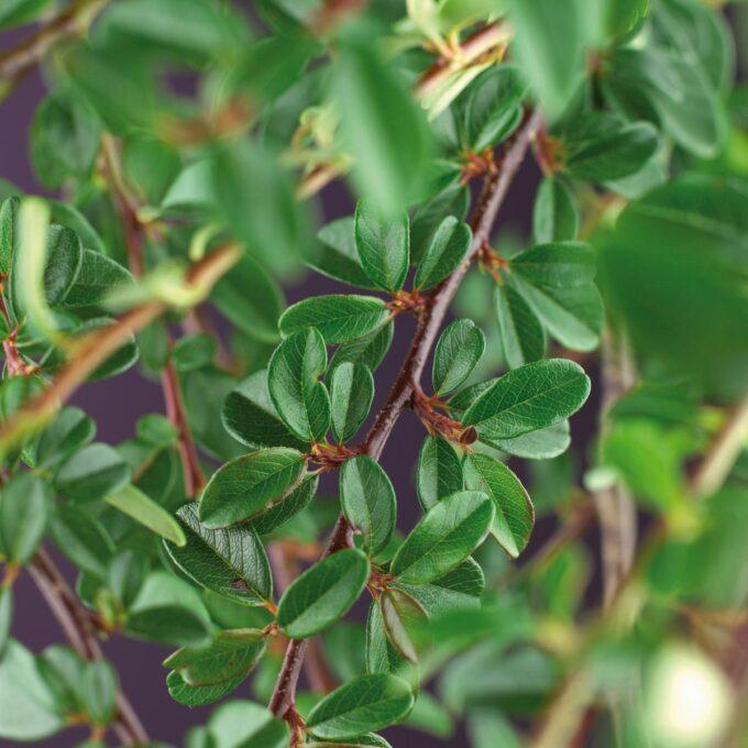 grønnbladet blankmispelgren