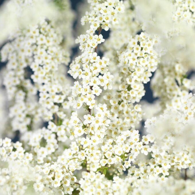 Hundrevis av hvite blomster på Grefsheim brudespirea-busk