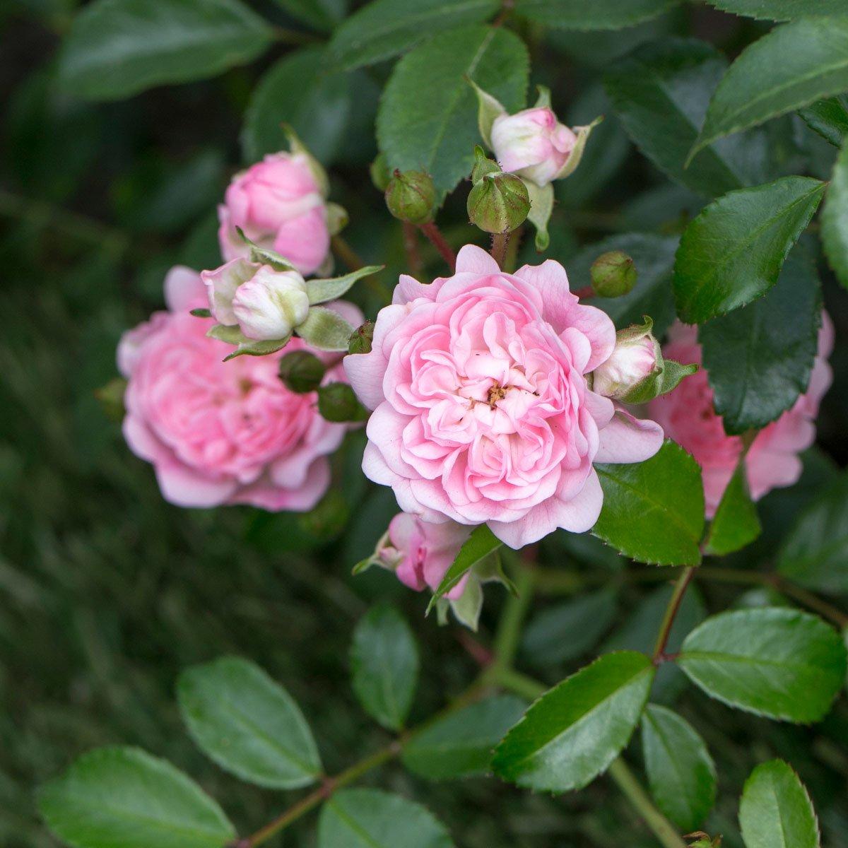 Tidsmæssigt Bunndekkerose 'Pink The Fairy' - Hageland RE-66