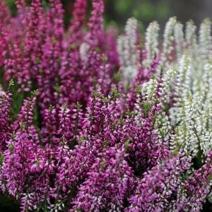 Røsslyng calluna lyngplante med hvite og lilla blomster