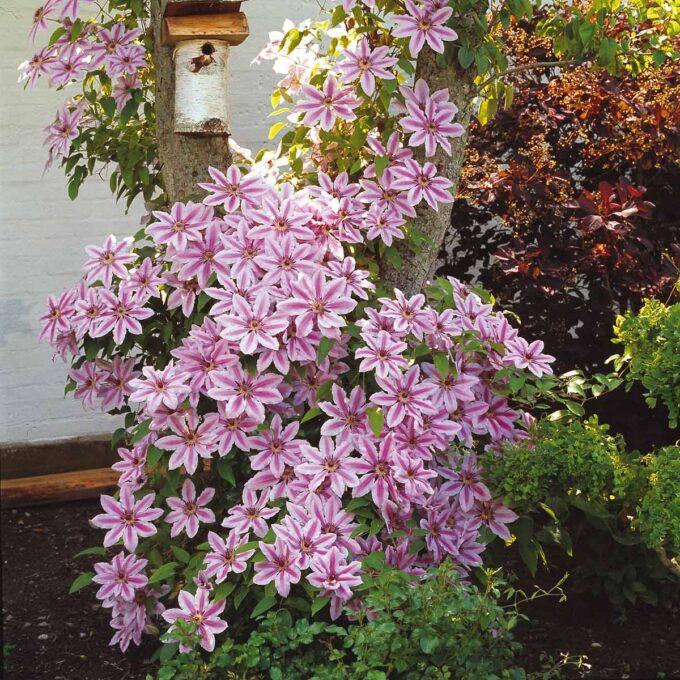 Rosa Nelly Moser-klematis med massevis av blomster