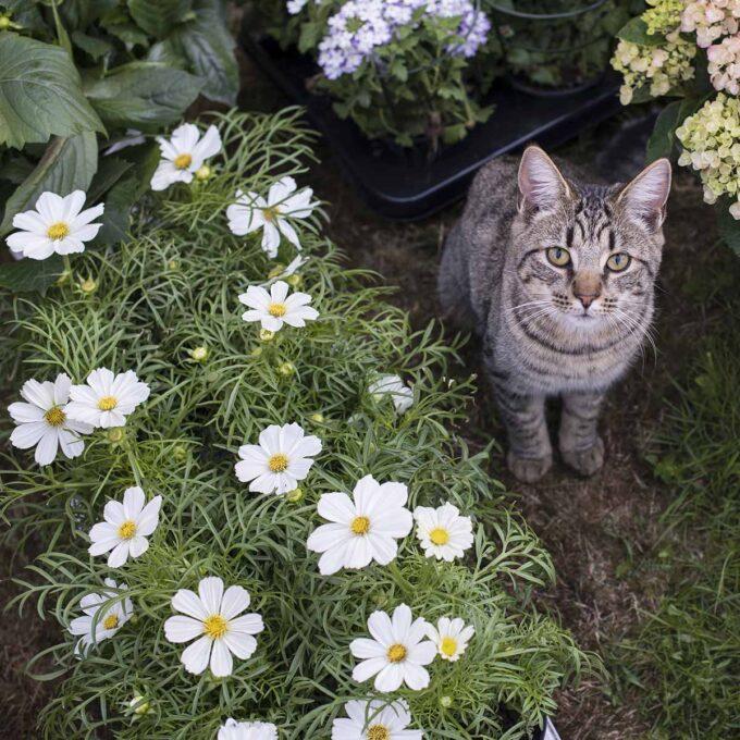 Kosmos blomster i kurv og en katt som sitter ved siden av