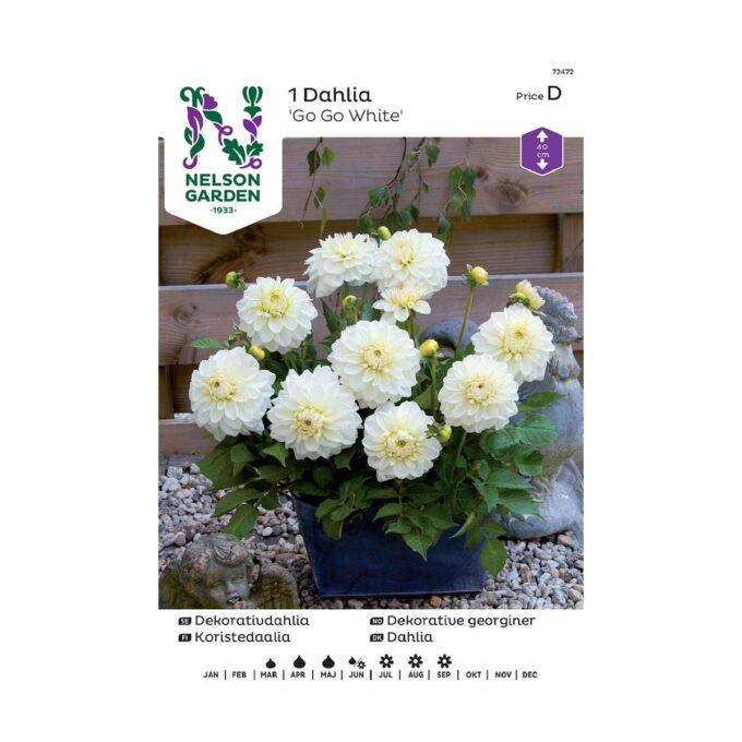 Nelson Garden blomsterløk - lav, hvit dahlia Go Go White