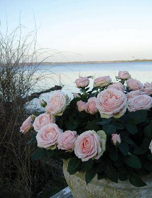 Romantiske lysrosa roser i utepotte