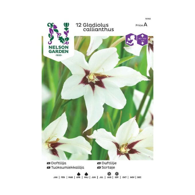 Nelson Garden blomsterløk - duftlilje Gladiol murielae