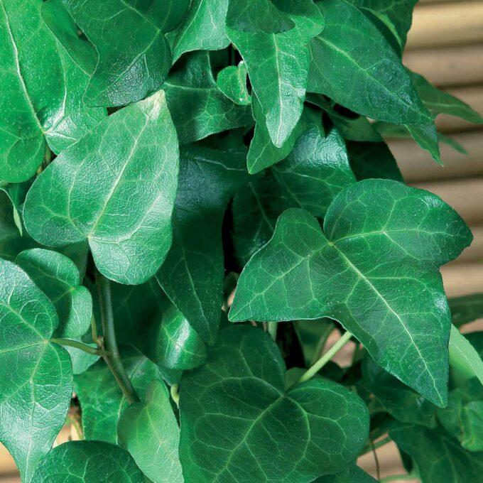 Nærbilde av Eføy Hedera grønne blader