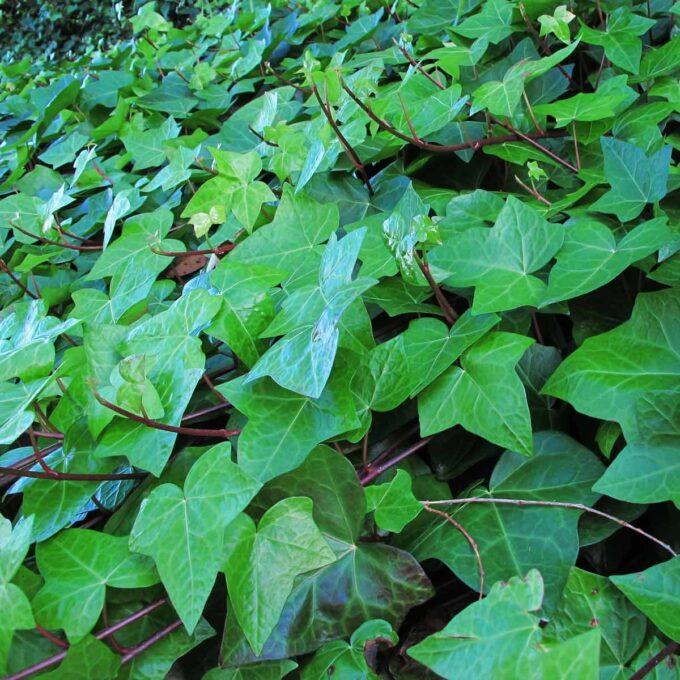 Eviggrønne eføy blader