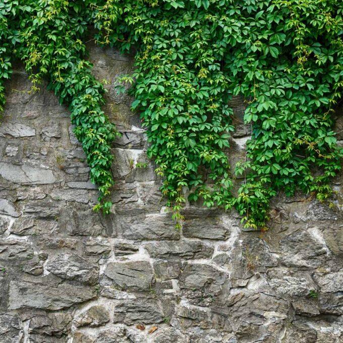 Eføy dekker en steinmur