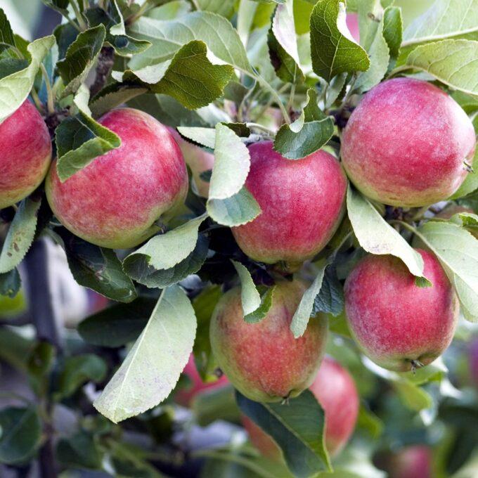 Røde og grønne aroma-epler på gren