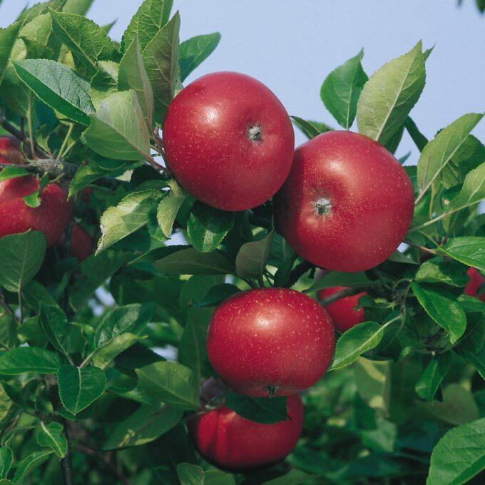 Knallrøde epler med hvite prikker, hengende på gren, Discovery