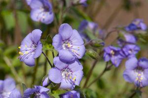 FJellflokk med blå blomster