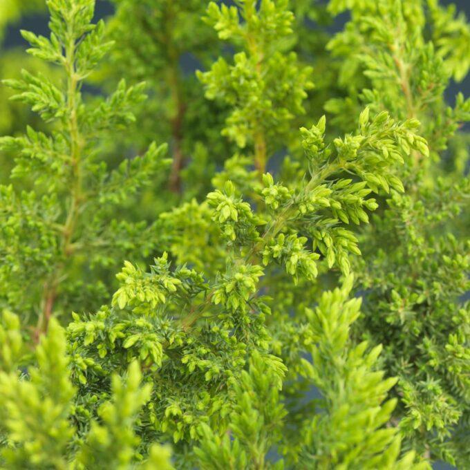 Flateiner Nana ertesypress
