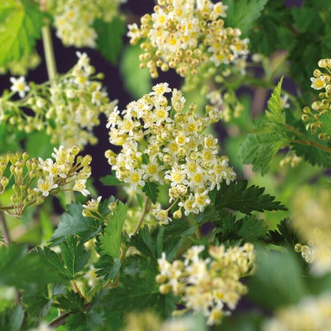 Blomstene til flikkranstopp Crispa