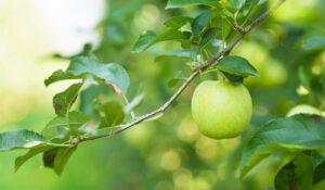 Frukttrær