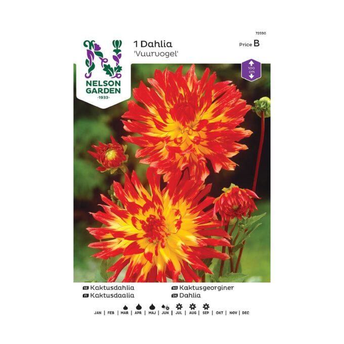 Nelson Garden blomsterløk - gul og rød Vuurvogel georgine