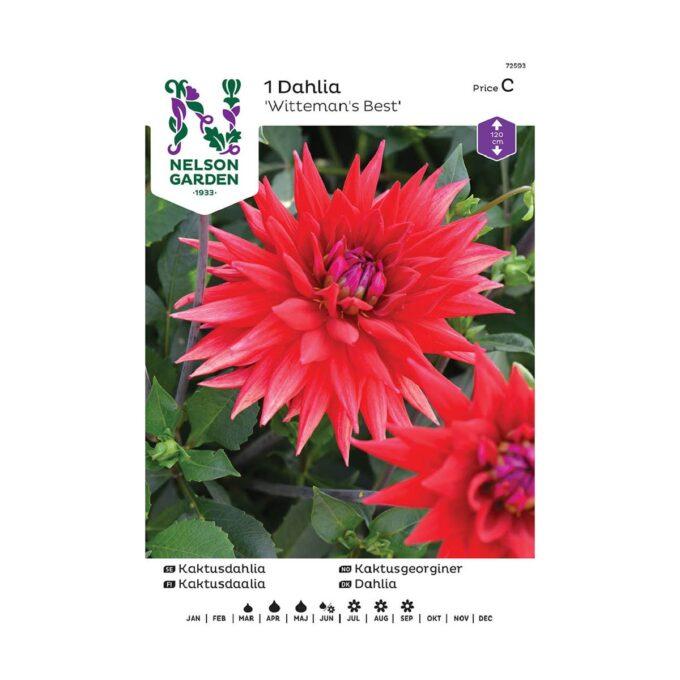 Nelson Garden blomsterløk - Rød georgine dahlia Wittemans Best