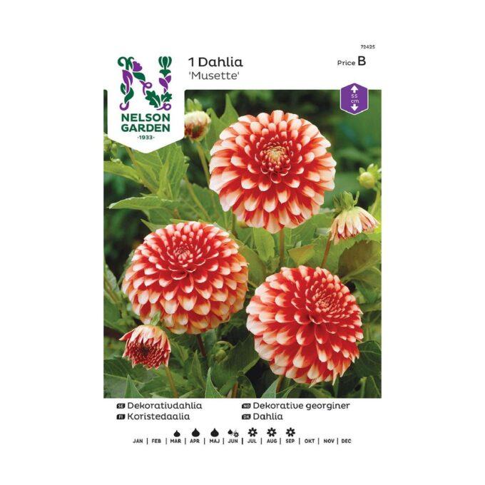 Nelson Garden blomsterløk - rød og hvit georgine Musette