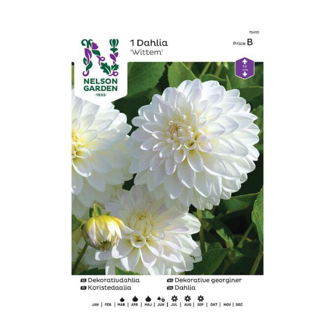 Nelson Garden blomsterløk - georgine Dahlia Wittem