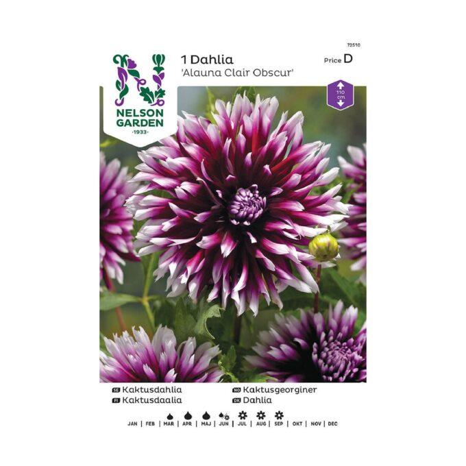 Nelson Garden blomsterløk - georgine Alauna Clair Obscur
