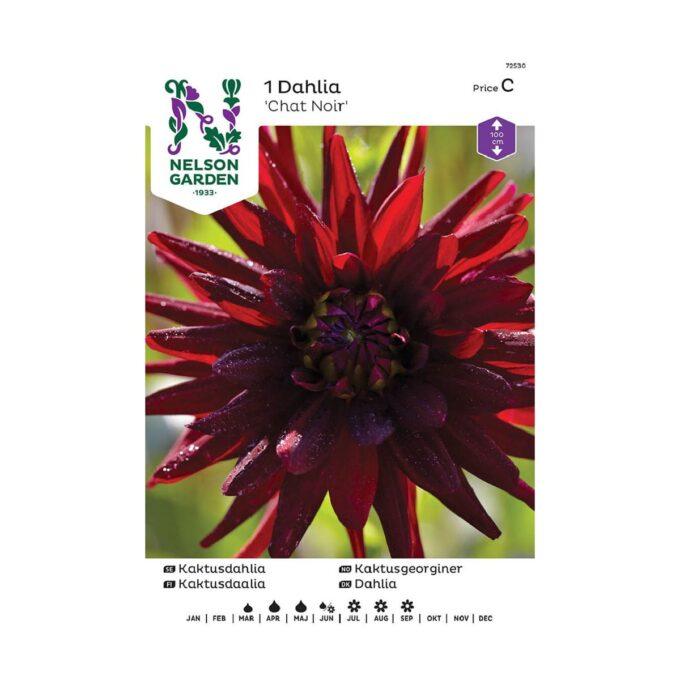 Nelson Garden blomsterløk - Chat Noir mørkerød georgine