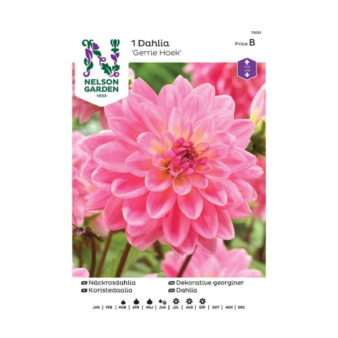 Nelson Garden blomsterløk - rosa georgine Gerrie Hoek